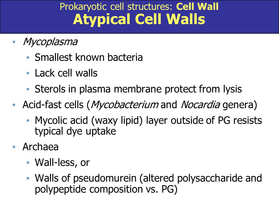 Mycoplasma Smallest known bacteria Lack cell walls Sterols in plasma membrane protect from lysis Acid-fast cells (Mycobacterium and Nocardia genera) M