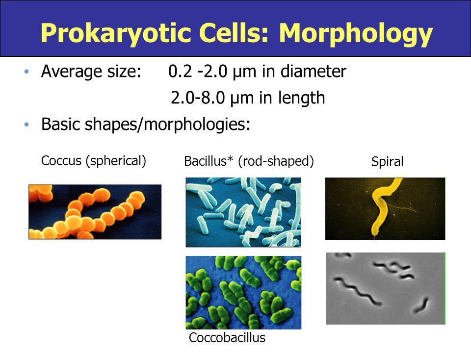 Prokaryotic Cells: Morphology Average size: 0.2 -2.0 µm in diameter 2.0-8.0 µm in length Basic shapes/morphologies: Coccus (spherical) Bacillus* (rod-