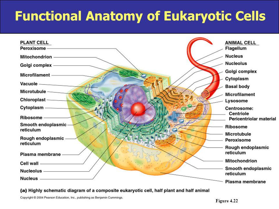 Functional Anatomy of Eukaryotic Cells Figure 4.22