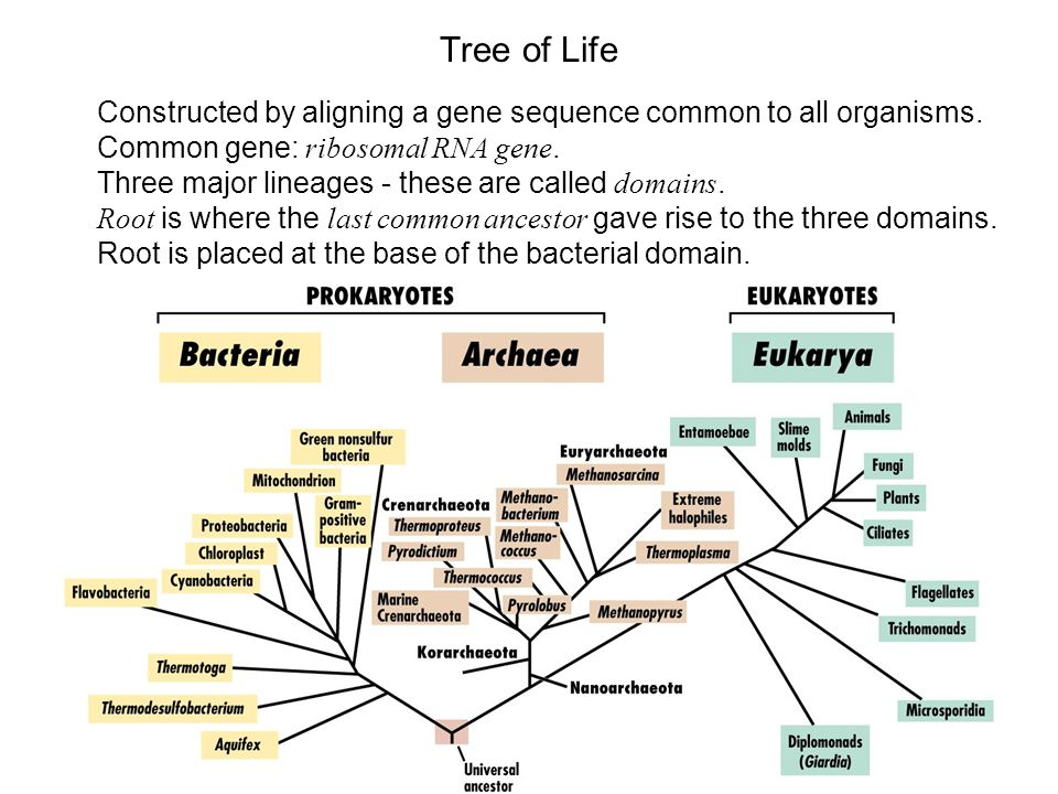 Tree of Life Constructed by aligning a gene sequence common to all organisms.