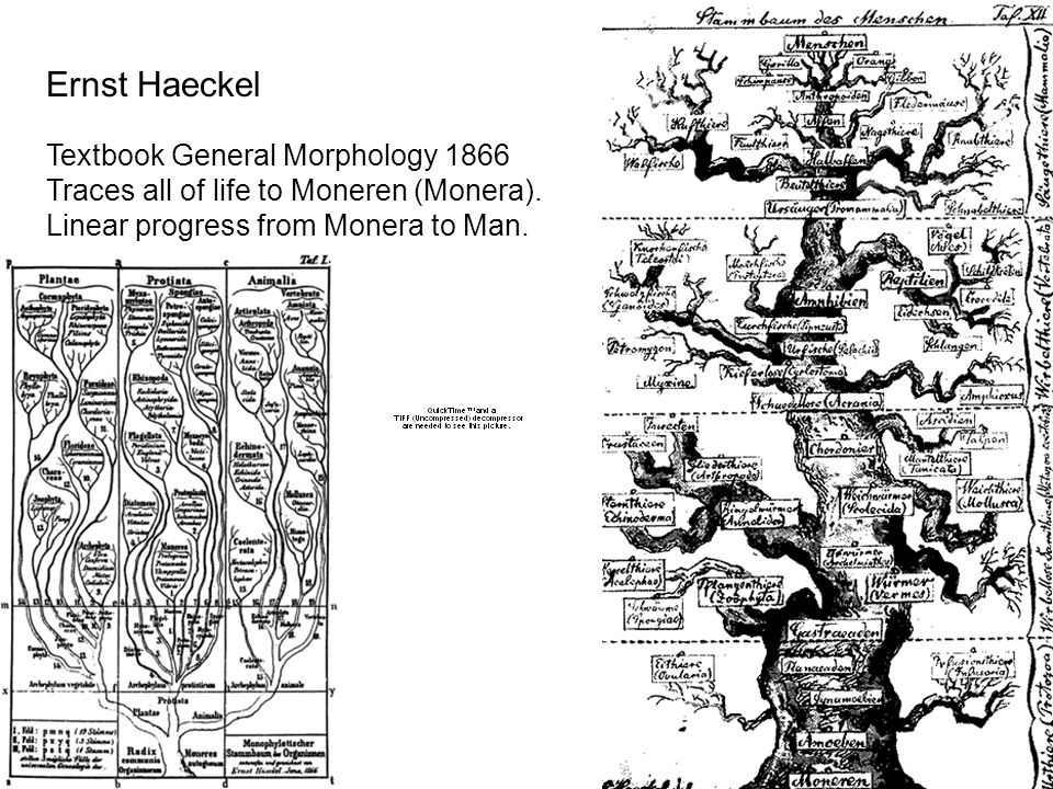 Yet another version of Haeckel's tree of life All eukaryotes descended from prokaryotes, culminating in man.