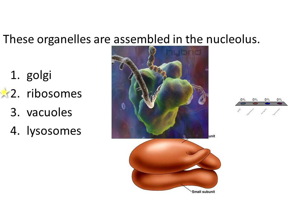 These organelles are assembled in the nucleolus. 1.golgi 2.ribosomes 3.vacuoles 4.lysosomes