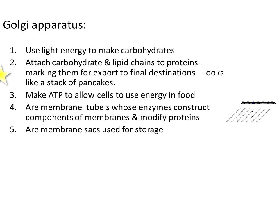 Golgi apparatus: 1.Use light energy to make carbohydrates 2.Attach carbohydrate & lipid chains to proteins-- marking them for export to final destinations—looks like a stack of pancakes.