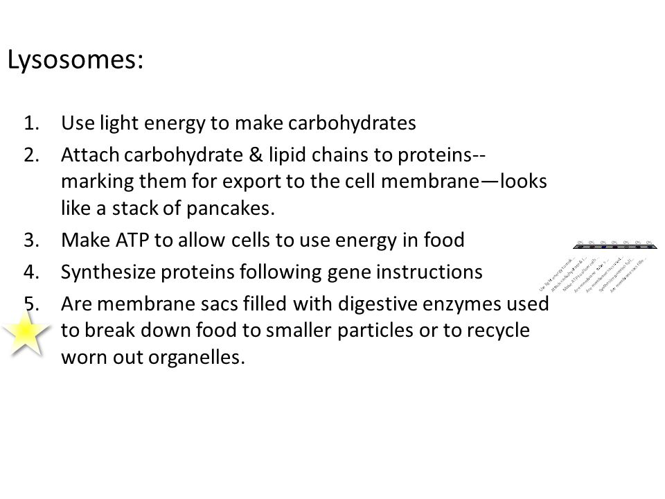 Lysosomes: 1.Use light energy to make carbohydrates 2.Attach carbohydrate & lipid chains to proteins-- marking them for export to the cell membrane—lo