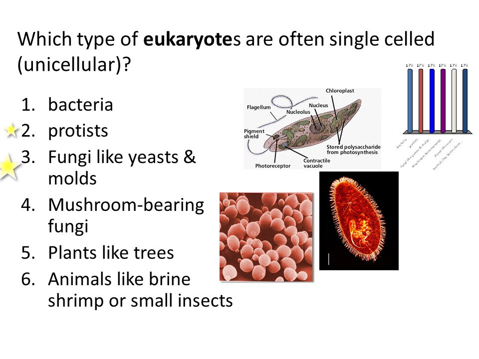Which type of eukaryotes are often single celled (unicellular)? 1.bacteria 2.protists 3.Fungi like yeasts & molds 4.Mushroom-bearing fungi 5.Plants li