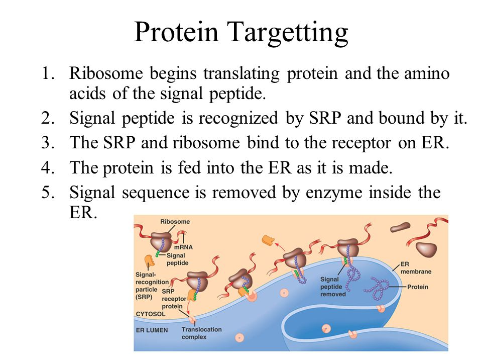 Protein Targetting 1.Ribosome begins translating protein and the amino acids of the signal peptide.