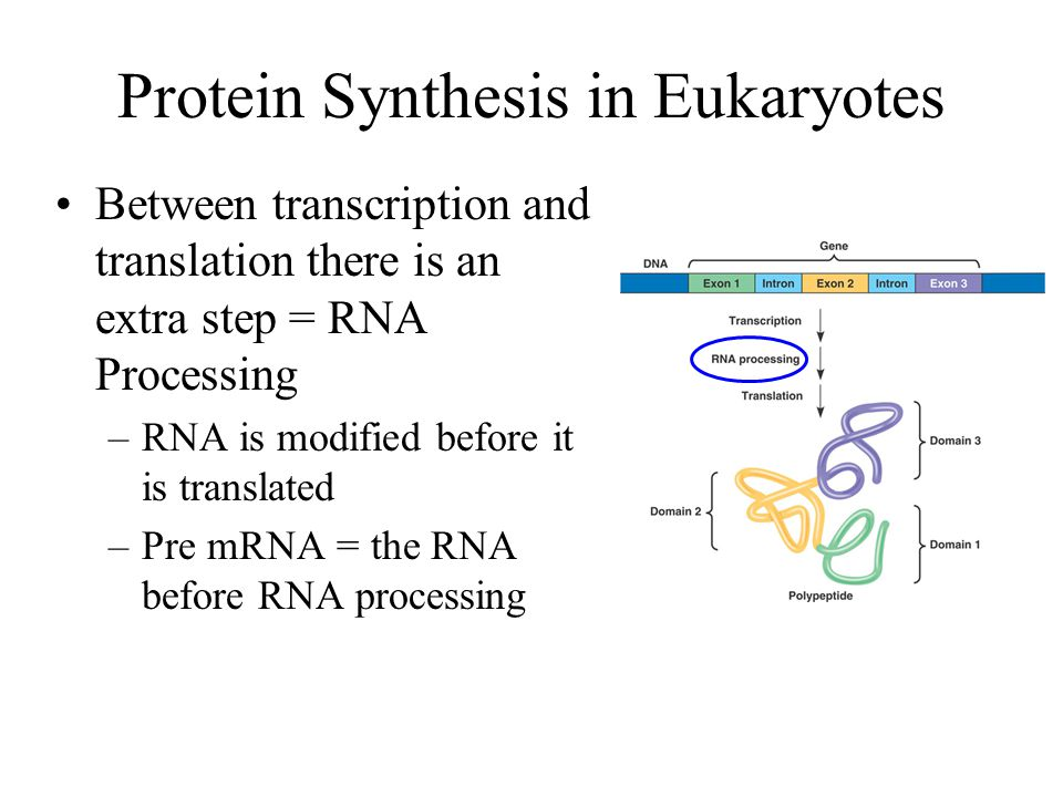 Protein Synthesis in Eukaryotes Between transcription and translation there is an extra step = RNA Processing –RNA is modified before it is translated –Pre mRNA = the RNA before RNA processing