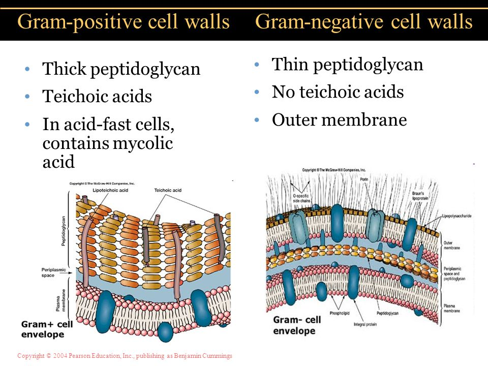 Copyright © 2004 Pearson Education, Inc., publishing as Benjamin Cummings Thick peptidoglycan Teichoic acids In acid-fast cells, contains mycolic acid