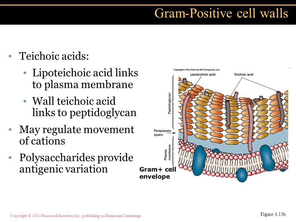 Copyright © 2004 Pearson Education, Inc., publishing as Benjamin Cummings Teichoic acids: Lipoteichoic acid links to plasma membrane Wall teichoic aci