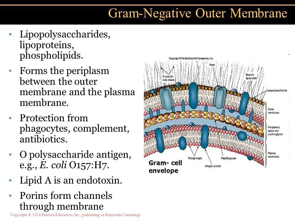 Copyright © 2004 Pearson Education, Inc., publishing as Benjamin Cummings Lipopolysaccharides, lipoproteins, phospholipids. Forms the periplasm betwee
