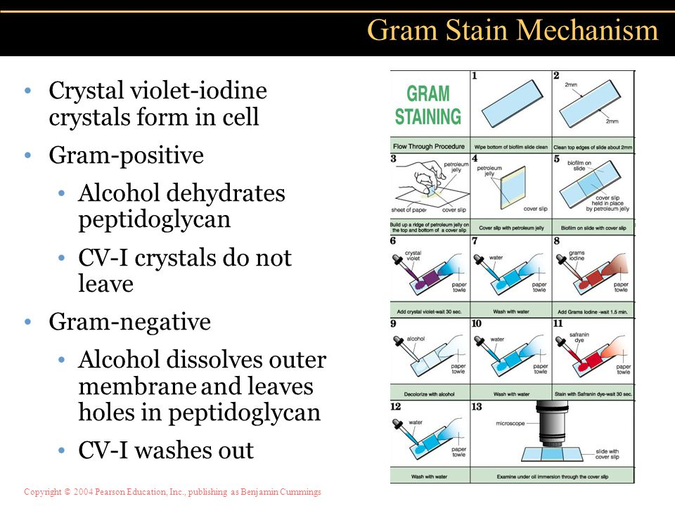 Copyright © 2004 Pearson Education, Inc., publishing as Benjamin Cummings Crystal violet-iodine crystals form in cell Gram-positive Alcohol dehydrates