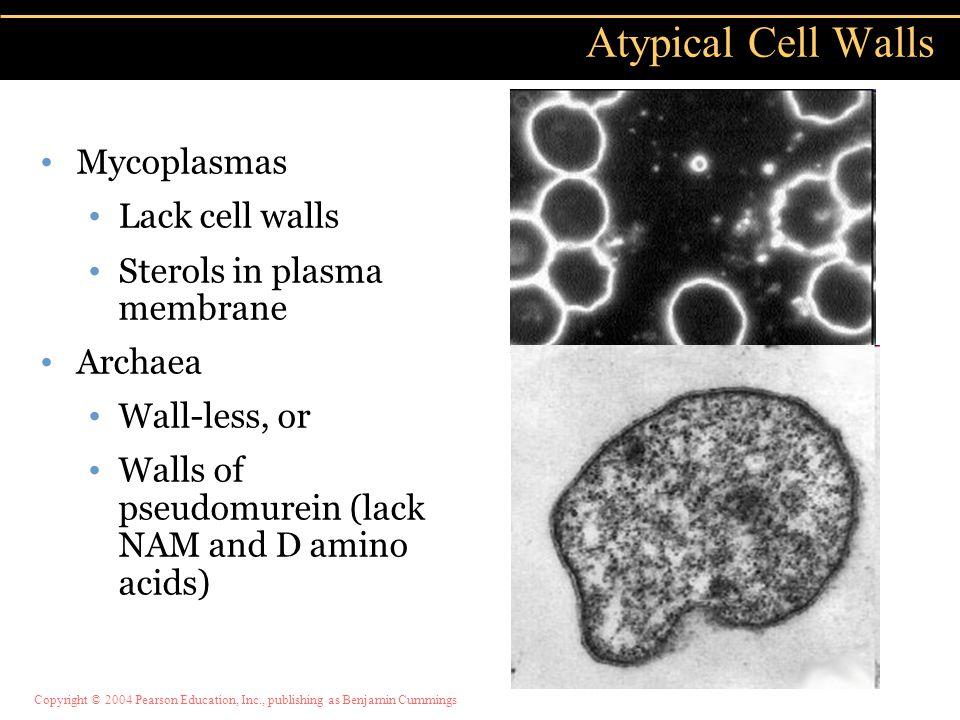 Copyright © 2004 Pearson Education, Inc., publishing as Benjamin Cummings Mycoplasmas Lack cell walls Sterols in plasma membrane Archaea Wall-less, or