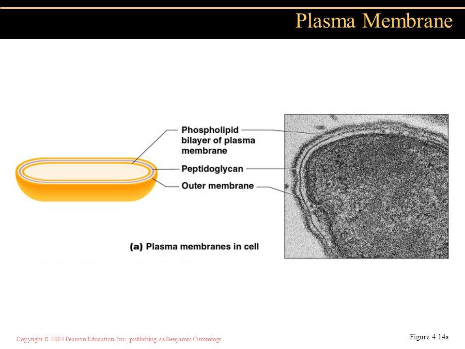 Copyright © 2004 Pearson Education, Inc., publishing as Benjamin Cummings Plasma Membrane Figure 4.14a