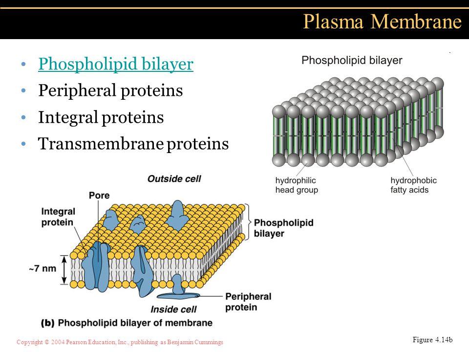 Copyright © 2004 Pearson Education, Inc., publishing as Benjamin Cummings Plasma Membrane Phospholipid bilayer Peripheral proteins Integral proteins T