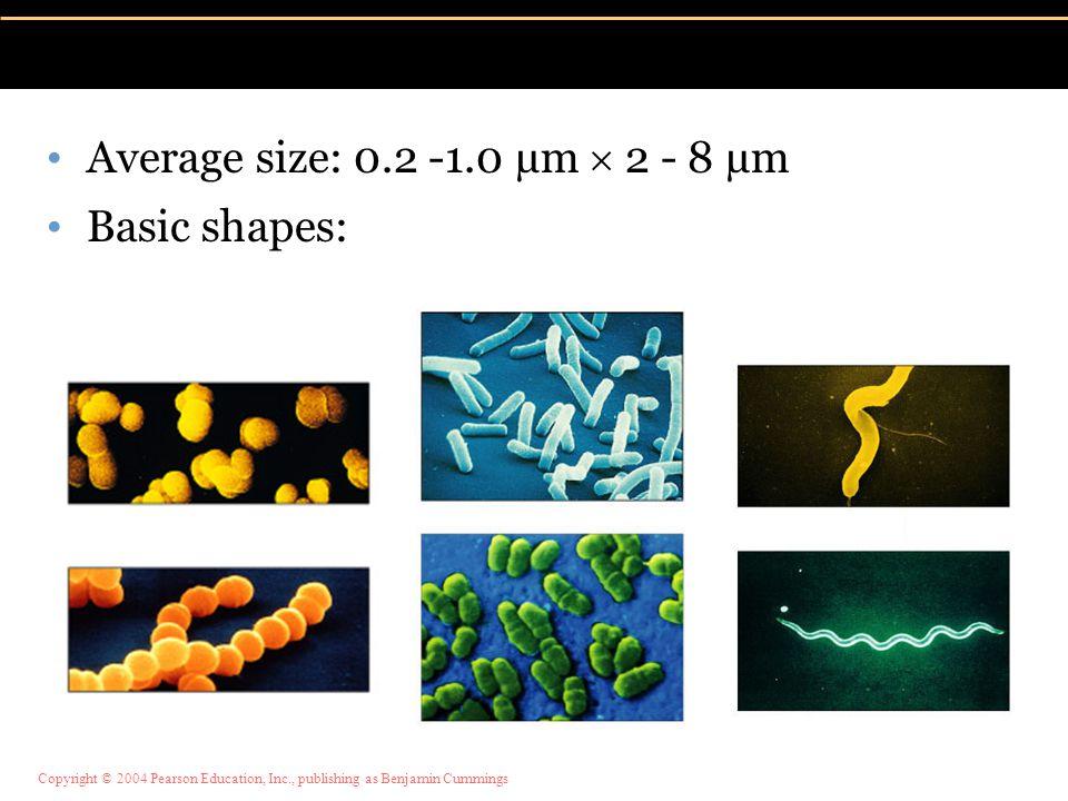 Copyright © 2004 Pearson Education, Inc., publishing as Benjamin Cummings Average size: 0.2 -1.0 µm  2 - 8 µm Basic shapes: