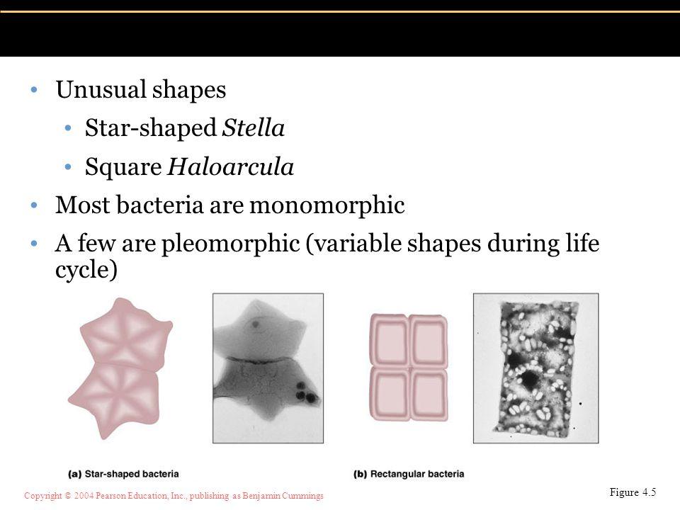 Copyright © 2004 Pearson Education, Inc., publishing as Benjamin Cummings Unusual shapes Star-shaped Stella Square Haloarcula Most bacteria are monomo