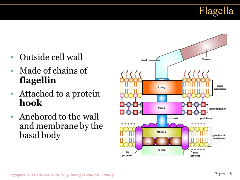 Copyright © 2004 Pearson Education, Inc., publishing as Benjamin Cummings Outside cell wall Made of chains of flagellin Attached to a protein hook Anc
