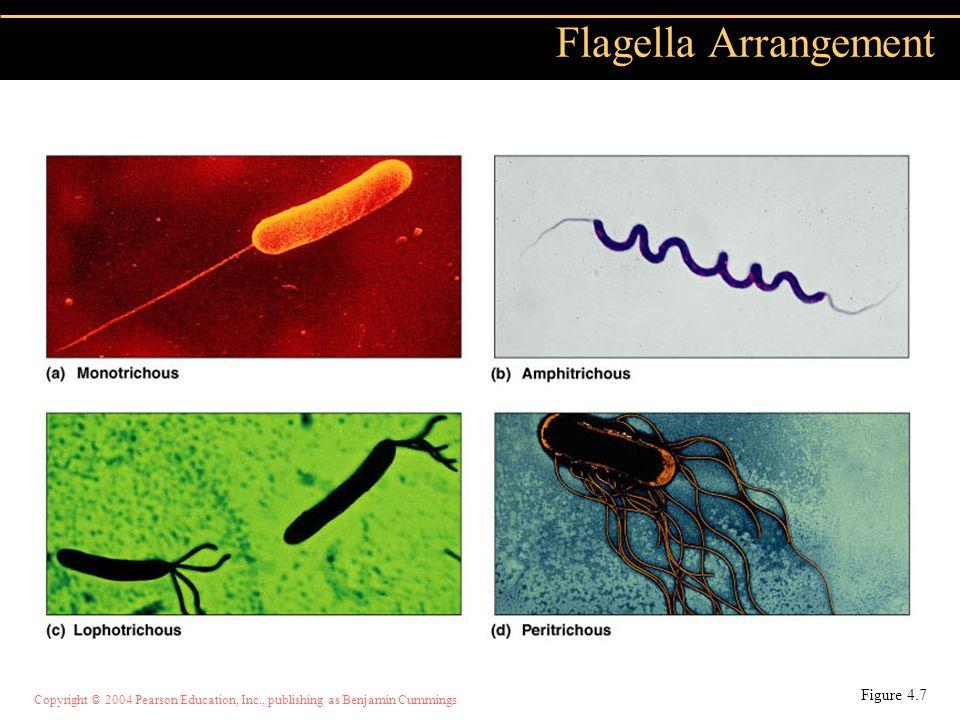 Copyright © 2004 Pearson Education, Inc., publishing as Benjamin Cummings Flagella Arrangement Figure 4.7