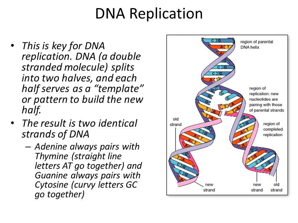 "DNA Replication This is key for DNA replication. DNA (a double stranded molecule) splits into two halves, and each half serves as a ""template"" or patt"