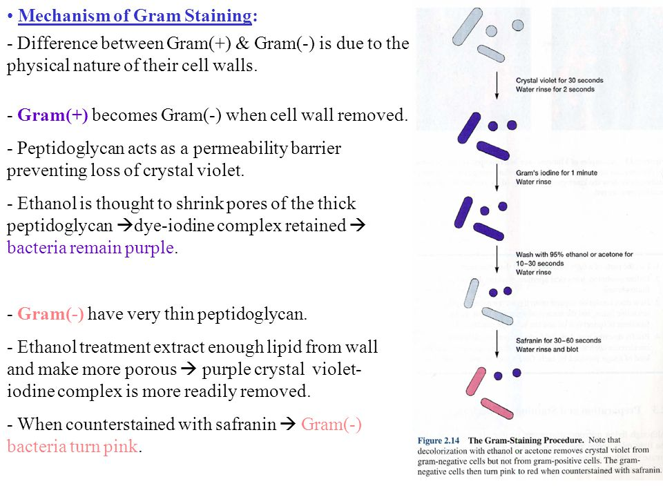 Mechanism of Gram Staining: - Difference between Gram(+) & Gram(-) is due to the physical nature of their cell walls.