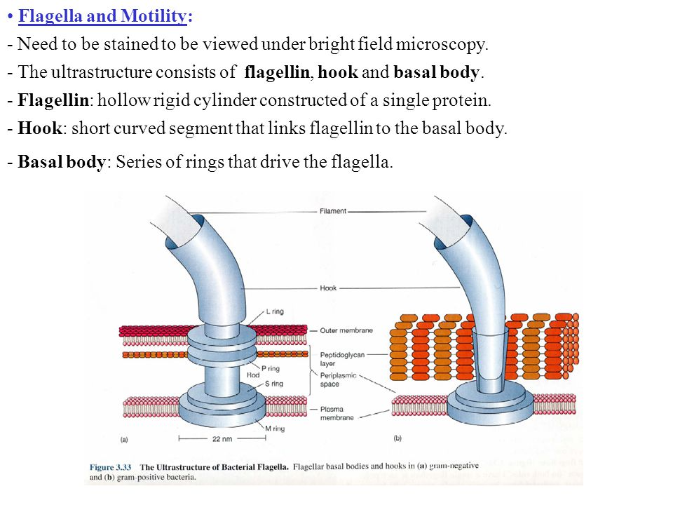 Flagella and Motility: - Need to be stained to be viewed under bright field microscopy.
