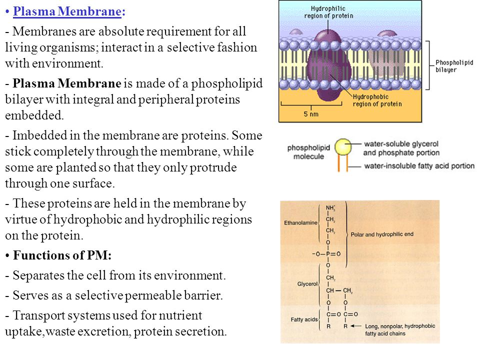 Plasma Membrane: - Membranes are absolute requirement for all living organisms; interact in a selective fashion with environment.