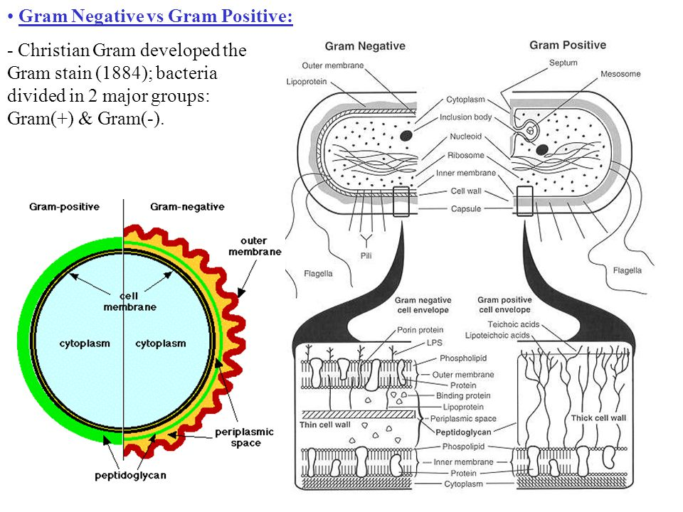 Gram Negative vs Gram Positive: - Christian Gram developed the Gram stain (1884); bacteria divided in 2 major groups: Gram(+) & Gram(-).