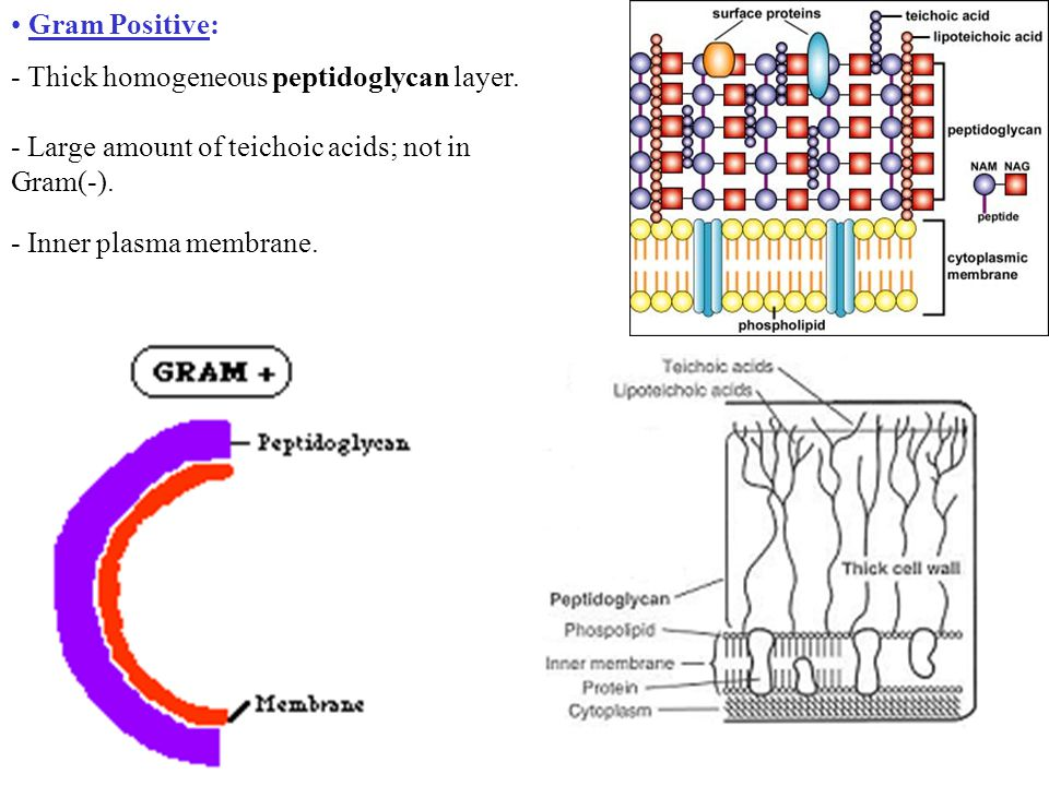 Gram Positive: - Thick homogeneous peptidoglycan layer.