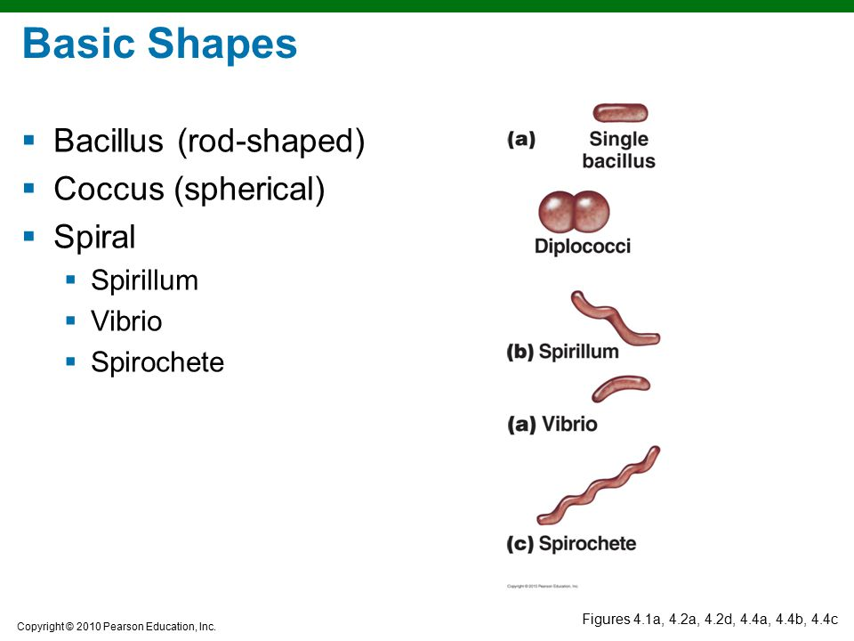 Copyright © 2010 Pearson Education, Inc. Figures 4.1a, 4.2a, 4.2d, 4.4a, 4.4b, 4.4c Basic Shapes  Bacillus (rod-shaped)  Coccus (spherical)  Spiral