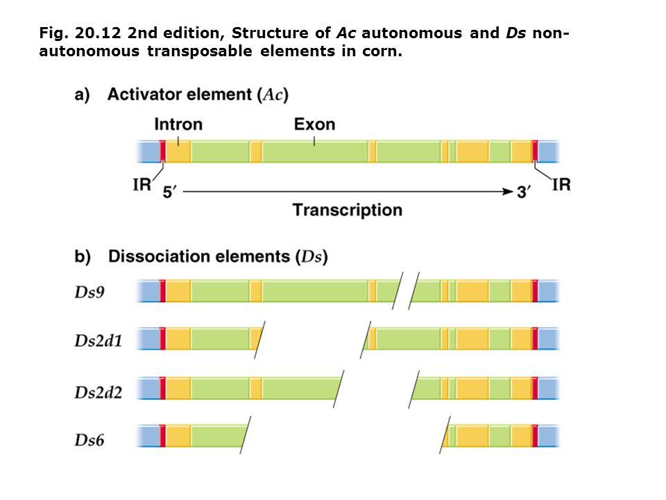 Fig. 20.12 2nd edition, Structure of Ac autonomous and Ds non- autonomous transposable elements in corn.