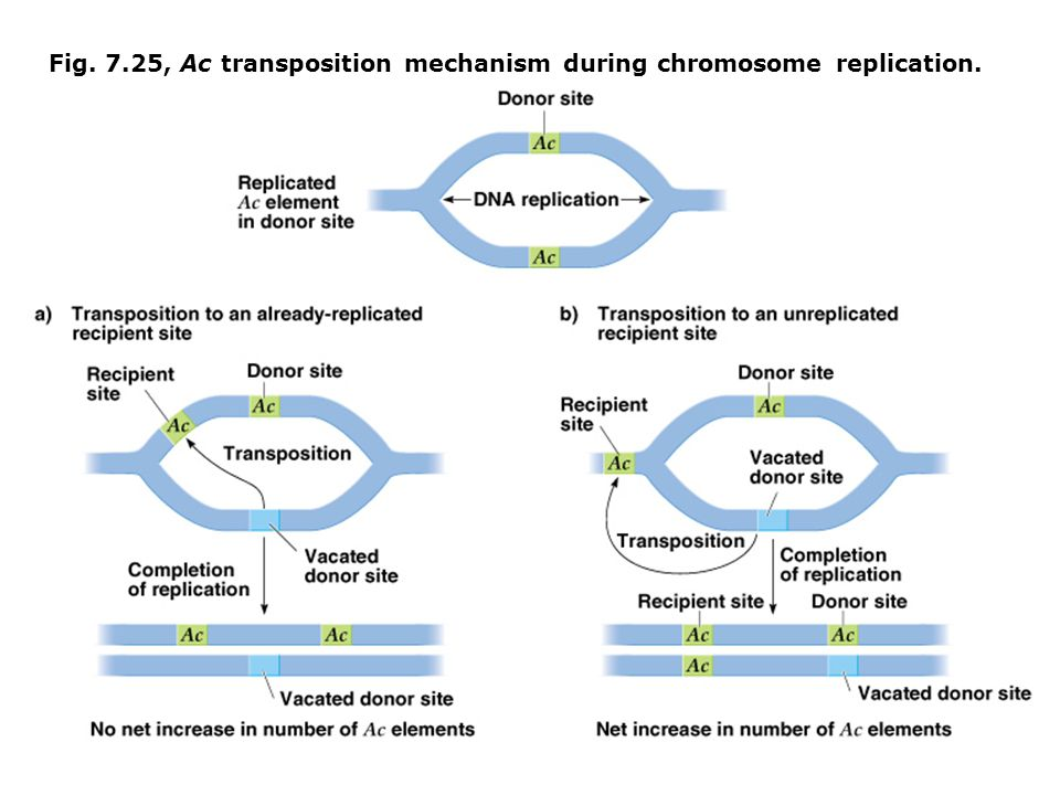 Fig. 7.25, Ac transposition mechanism during chromosome replication.