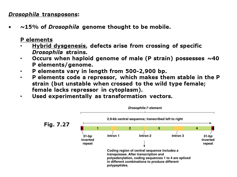 Drosophila transposons: ~15% of Drosophila genome thought to be mobile.
