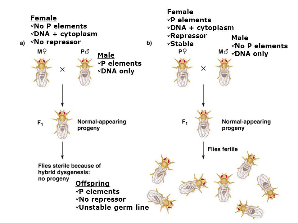 Female P elements DNA + cytoplasm Repressor Stable Male No P elements DNA only Female No P elements DNA + cytoplasm No repressor Male P elements DNA only Offspring P elements No repressor Unstable germ line