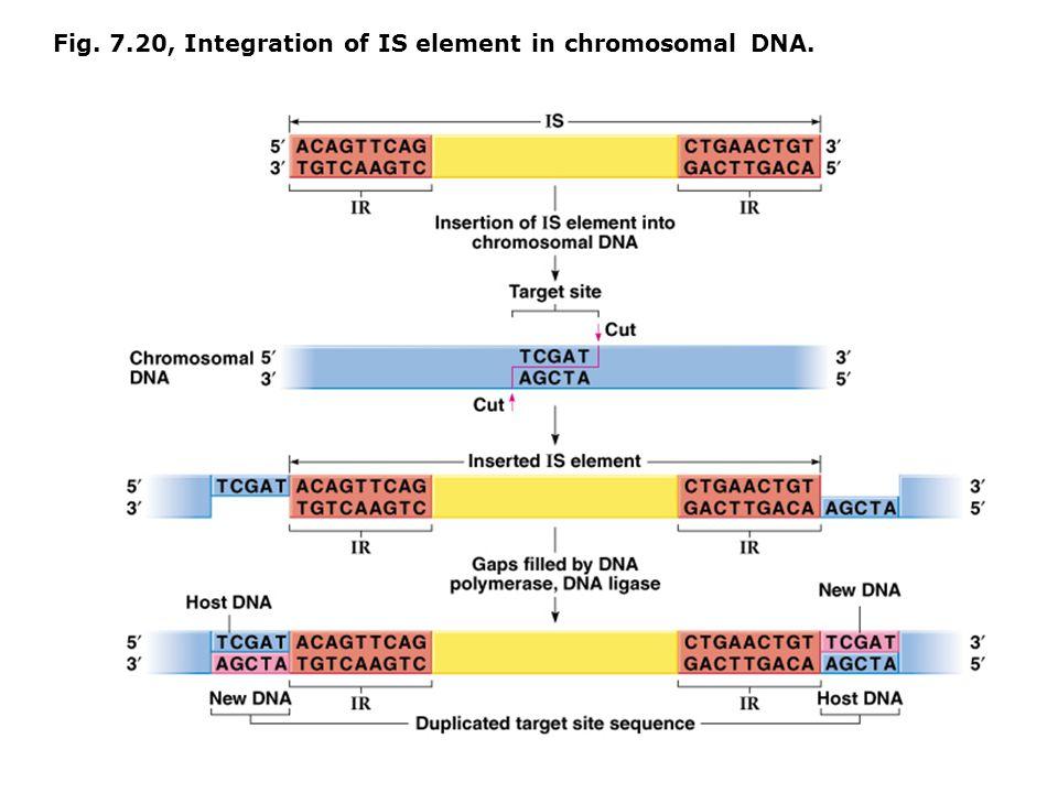 Fig. 7.20, Integration of IS element in chromosomal DNA.