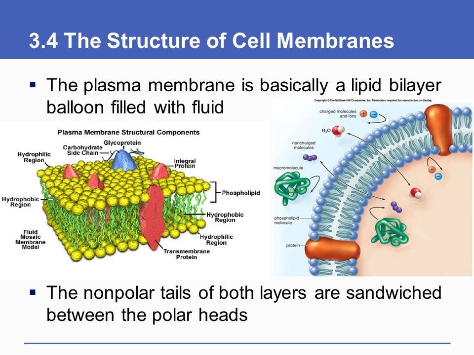3.4 The Structure of Cell Membranes  The plasma membrane is basically a lipid bilayer balloon filled with fluid  The nonpolar tails of both layers a