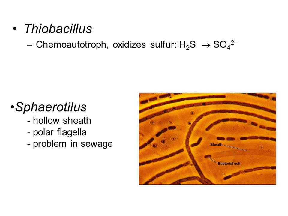 Thiobacillus –Chemoautotroph, oxidizes sulfur: H 2 S  SO 4 2– Sphaerotilus - hollow sheath - polar flagella - problem in sewage