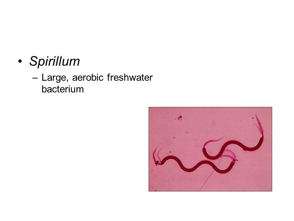 Spirillum –Large, aerobic freshwater bacterium