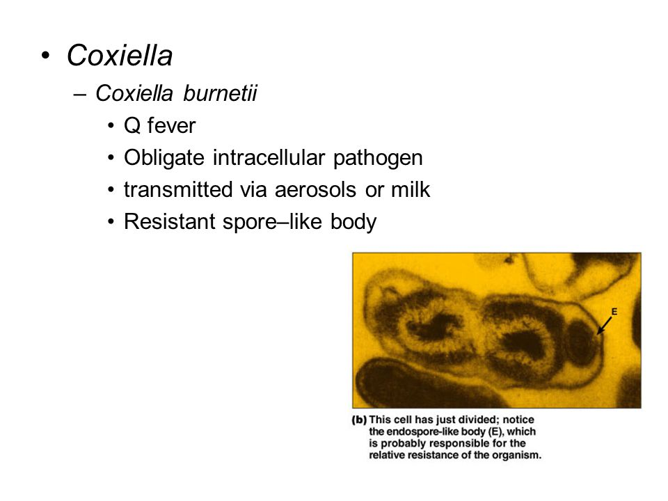 Coxiella –Coxiella burnetii Q fever Obligate intracellular pathogen transmitted via aerosols or milk Resistant spore–like body