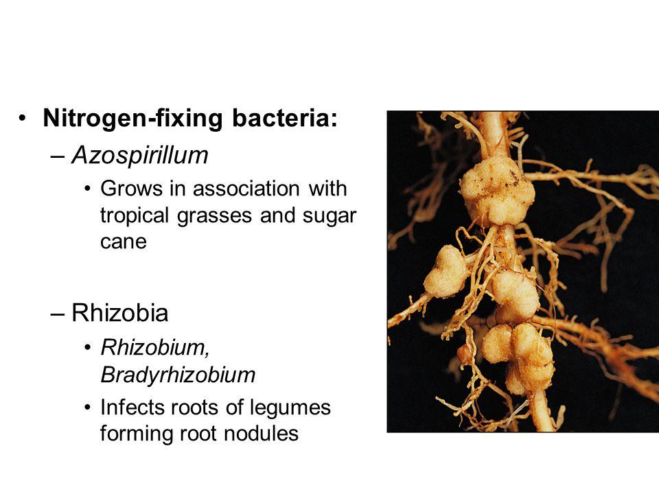 Nitrogen-fixing bacteria: –Azospirillum Grows in association with tropical grasses and sugar cane –Rhizobia Rhizobium, Bradyrhizobium Infects roots of