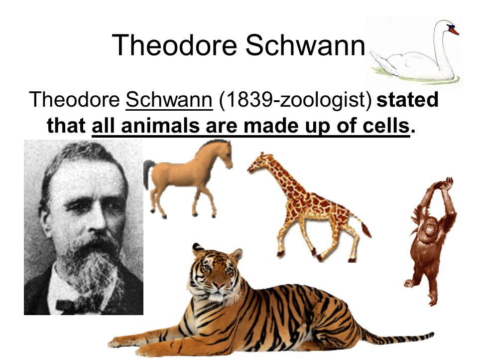 Rudolph Virchow Rudolph Virchow (1859)-stated that all cells come from other cells.
