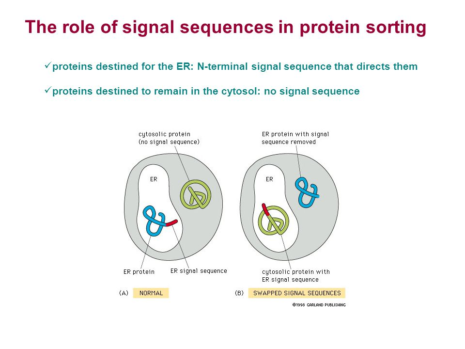 The role of signal sequences in protein sorting proteins destined for the ER: N-terminal signal sequence that directs them proteins destined to remain