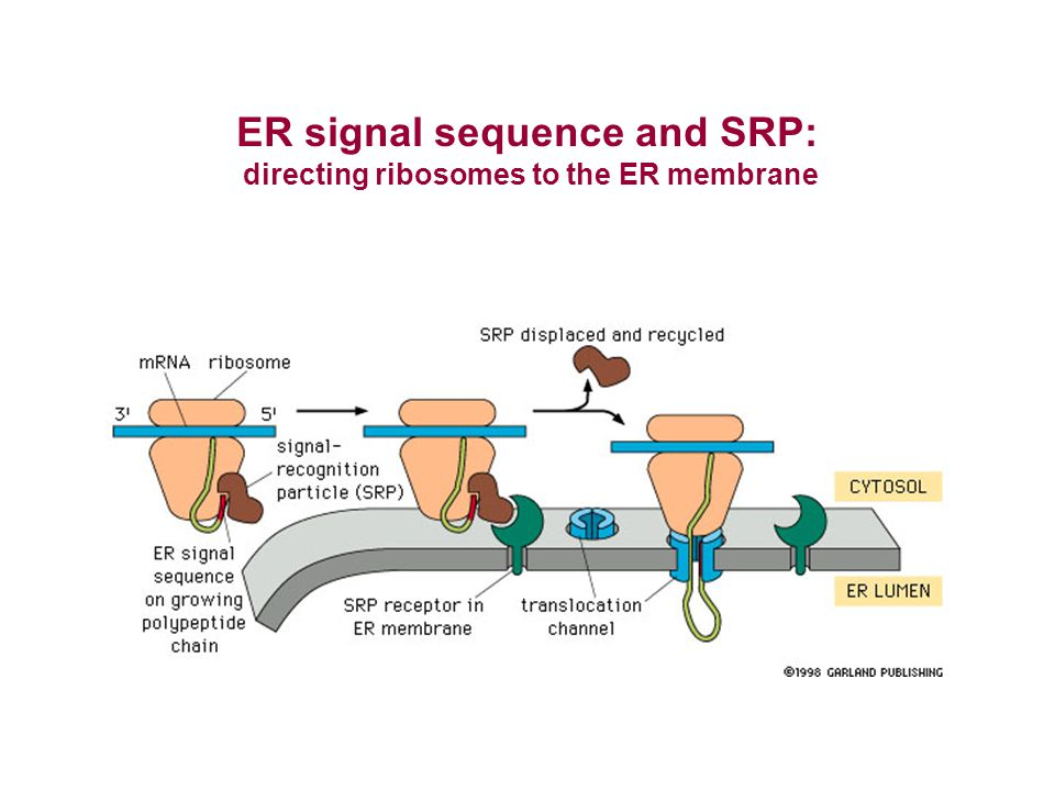 ER signal sequence and SRP: directing ribosomes to the ER membrane
