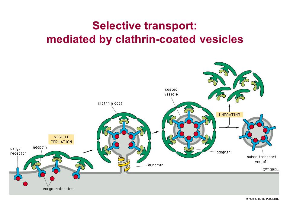 Selective transport: mediated by clathrin-coated vesicles