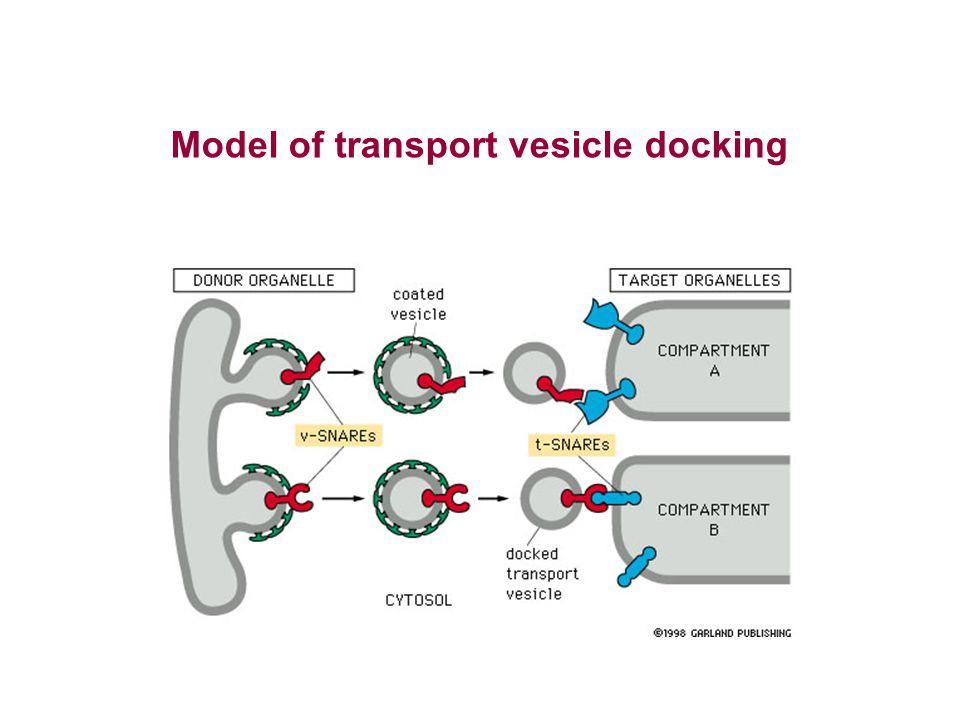 Model of transport vesicle docking