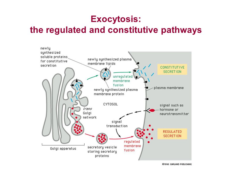 Exocytosis: the regulated and constitutive pathways