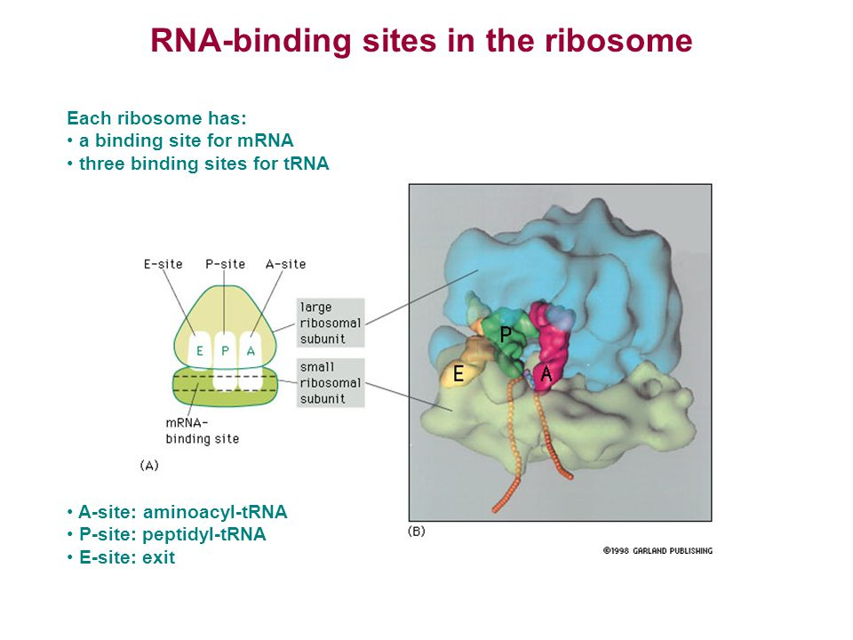 RNA-binding sites in the ribosome Each ribosome has: a binding site for mRNA three binding sites for tRNA A-site: aminoacyl-tRNA P-site: peptidyl-tRNA