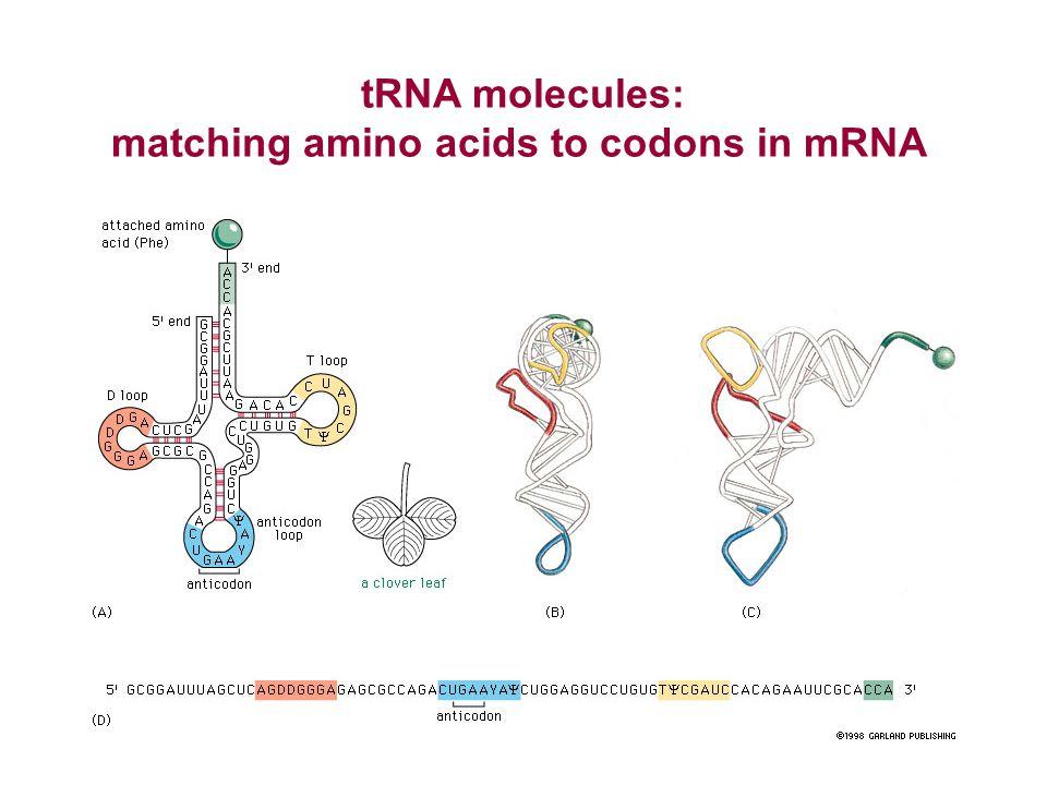tRNA molecules: matching amino acids to codons in mRNA