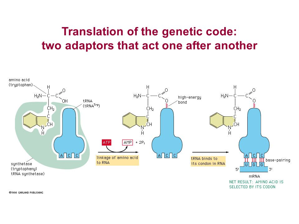 Translation of the genetic code: two adaptors that act one after another