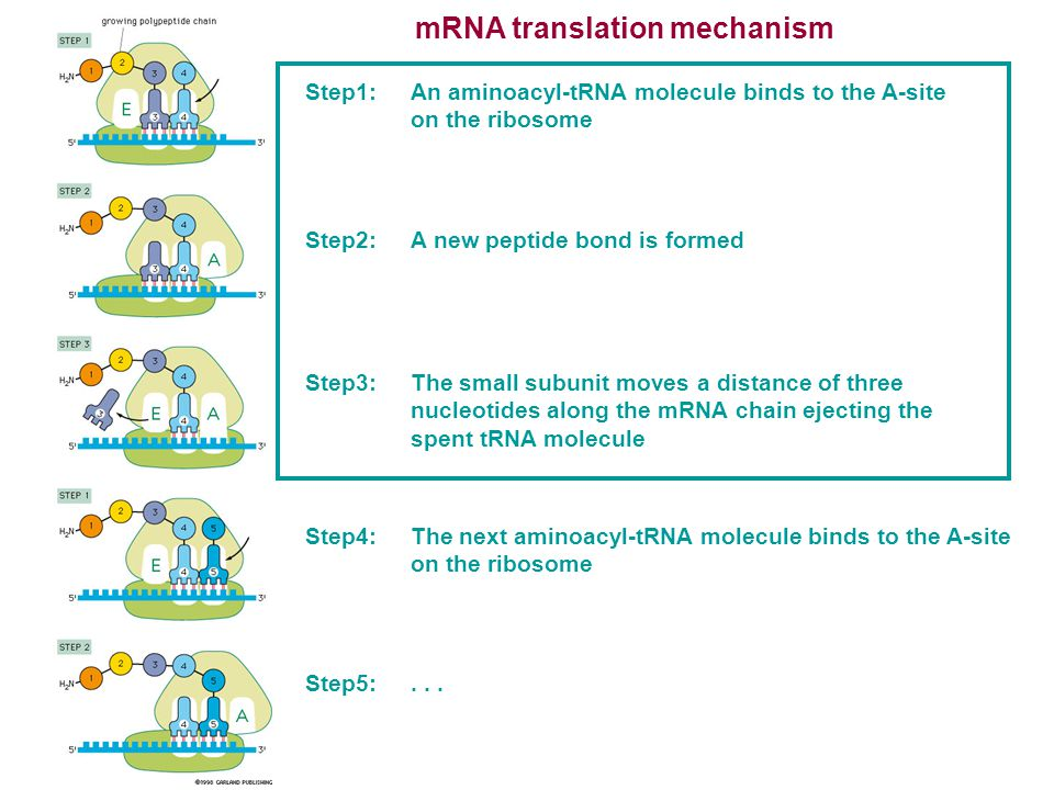 mRNA translation mechanism Step1:An aminoacyl-tRNA molecule binds to the A-site on the ribosome Step2:A new peptide bond is formed Step3:The small sub