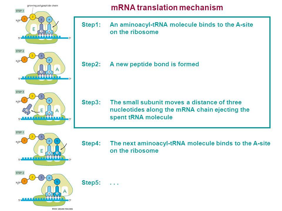 Free and membrane-bound ribosomes